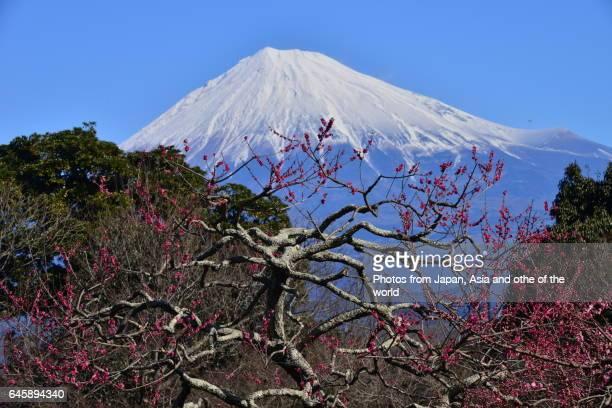Mt Fuji and Plum Blossom at Iwamoto-yama, Fuji City