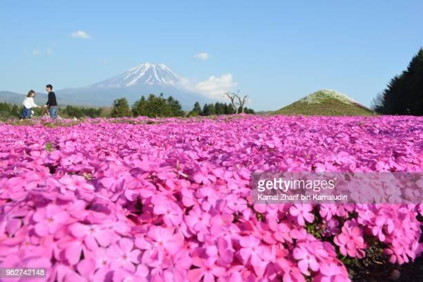 Mt Fuji and shibazakura