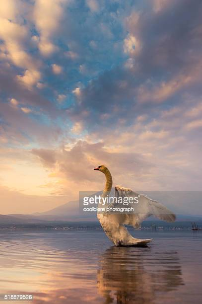 Mt Fuji at Lake Yamanaka with white swan