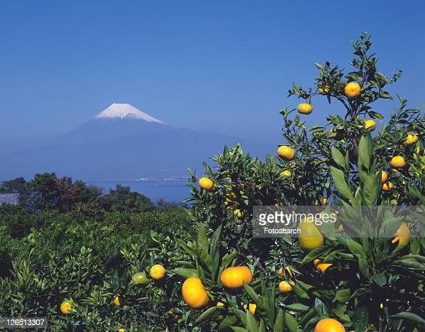 Mt. Fuji from orange plantation, Numazu city, Shizuoka prefecture, Japan