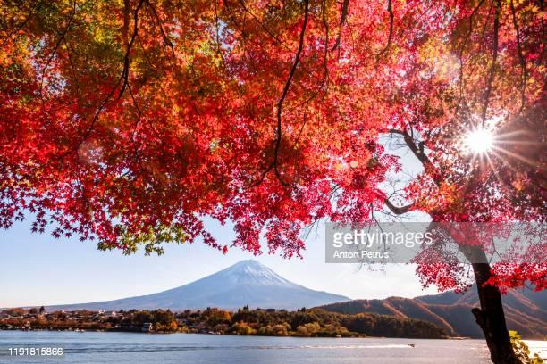 mt. fuji in autumn at sunset at lake kawaguchiko, japan - show garden stock pictures, royalty-free photos & images