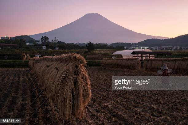 mt. fuji over a harvested rice field - yamanashi prefecture stock pictures, royalty-free photos & images
