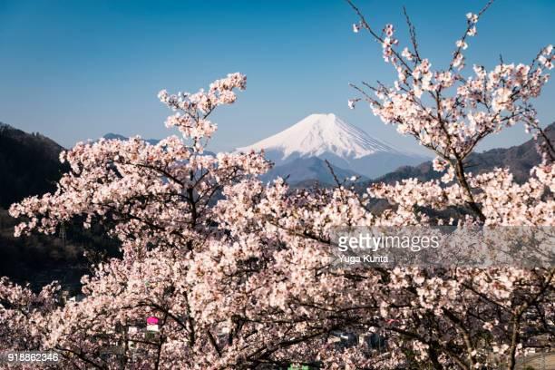 Mt. Fuji over Cherry Blossoms