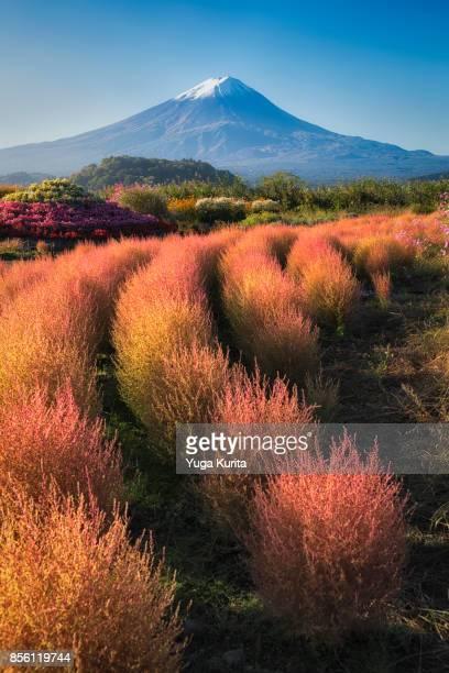 mt. fuji over colored kochia trees - fuji hakone izu national park stock photos and pictures