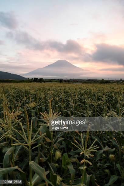 Mt. Fuji over Corn Fields