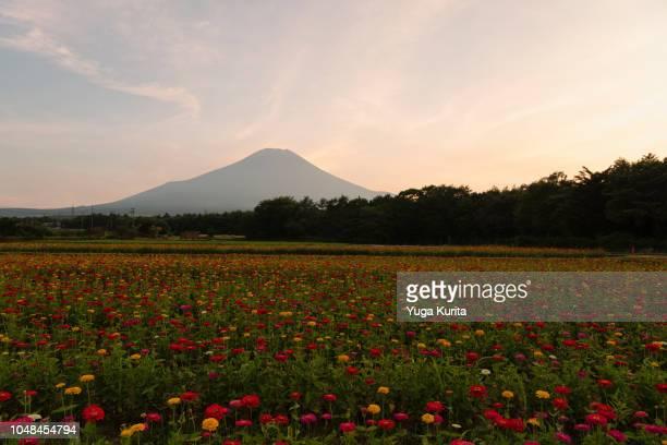 Mt. Fuji over Zinnia Flowers at Sunset