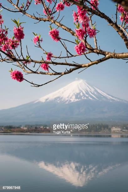 mt. fuji reflected in lake kawaguchi under peach blossoms - peach blossom bildbanksfoton och bilder