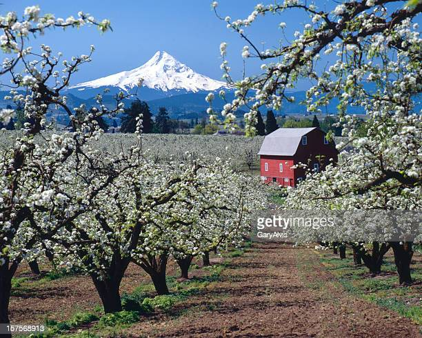 mt hood, oregon,usa-w/red barn and apple blossoms - hood river stock pictures, royalty-free photos & images