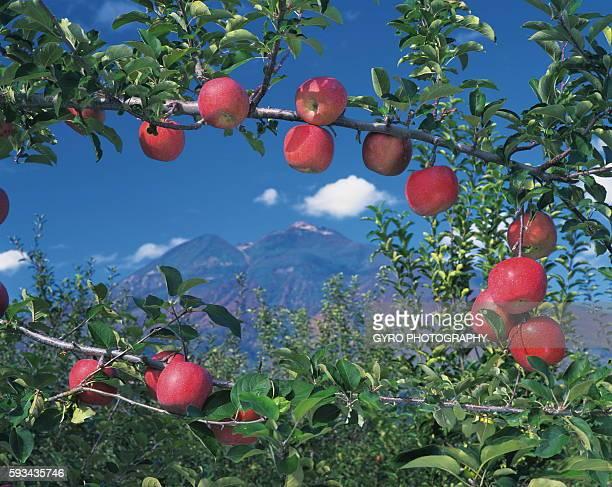 Mt. Iwaki and apples on branches, Hirosaki city, Aomori prefecture, Japan