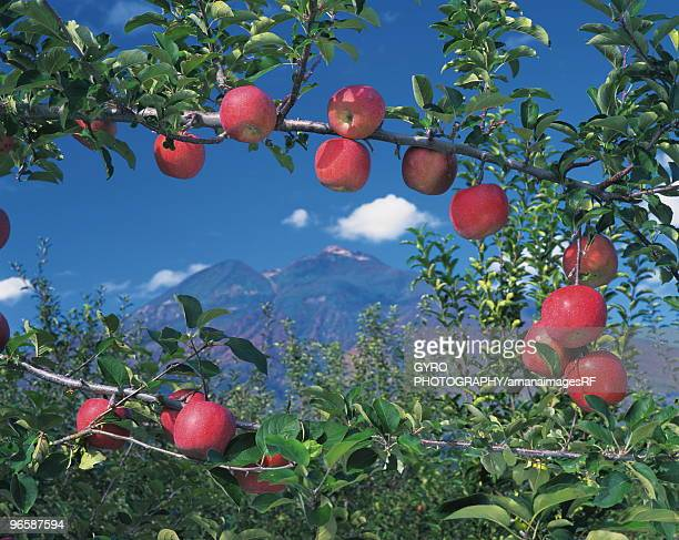 mt. iwaki and apples on branches, hirosaki city, aomori prefecture, japan - aomori prefecture stock pictures, royalty-free photos & images