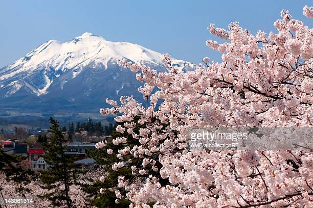 mt. iwaki and cherry blossoms, aomori prefecture, honshu, japan - aomori prefecture stock pictures, royalty-free photos & images