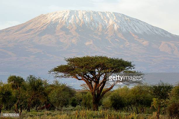 mt kilimanjaro and acacia - in the morning - mt kilimanjaro stockfoto's en -beelden