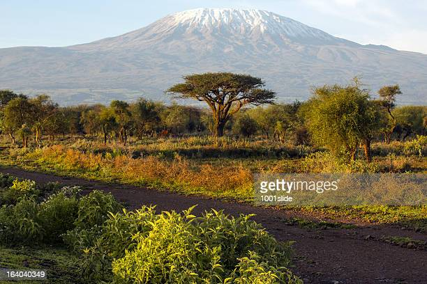 mt kilimanjaro and acacia - in the morning - kilimanjaro stock photos and pictures