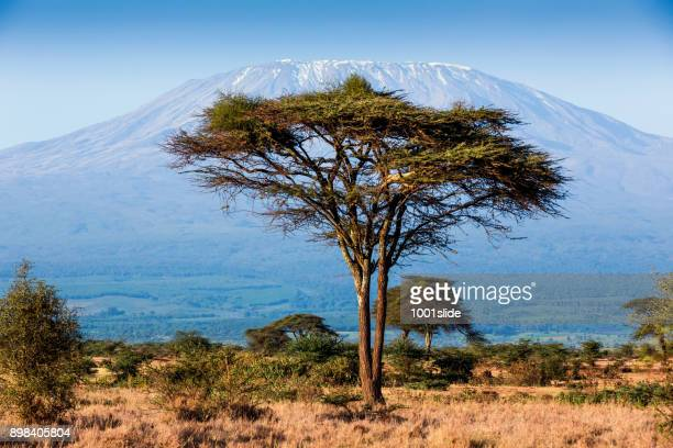 Mt Kilimanjaro and Acacia - in the morning with the sunlight