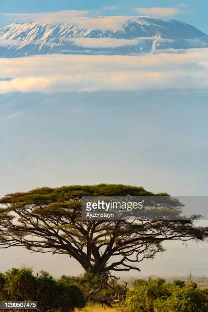 mt kilimanjaro and acacia tree at sunrise - national landmark stock pictures, royalty-free photos & images
