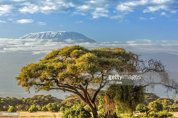 Mt Kilimanjaro, clouds and Acacia tree - in the morning