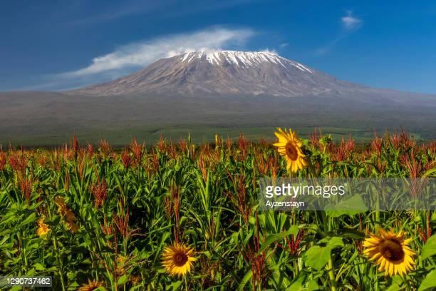 mt kilimanjaro - kenya stock pictures, royalty-free photos & images
