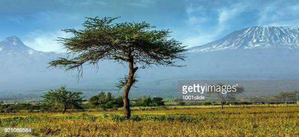 mt mawenzi en kilimanjaro met acacia tree - mt kilimanjaro stockfoto's en -beelden