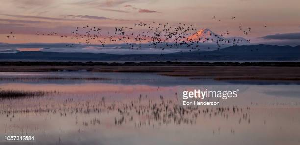 mt. shasta and flock - marsh stock pictures, royalty-free photos & images