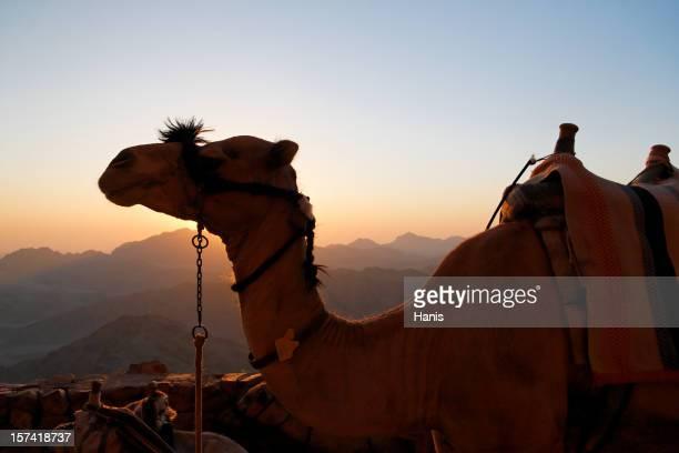 Mt. Sinai camel
