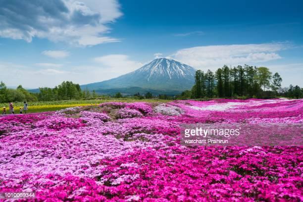 mt. yotei ,mishima's shibazakura garden - hokkaido stock pictures, royalty-free photos & images