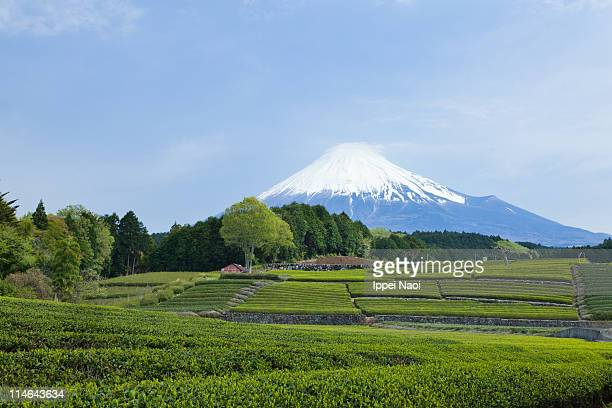 Mt.Fuji and Japanese green tea plantation