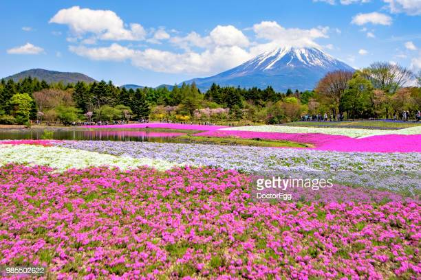 mt.fuji and shibazakura garden near motosu lake, fujinomiya, shizuoka, japan - shizuoka stock photos and pictures