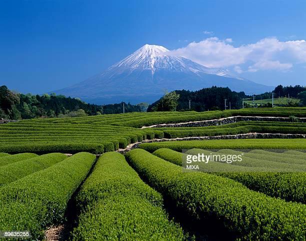 mt.fuji and tea plantation - shizuoka stock pictures, royalty-free photos & images