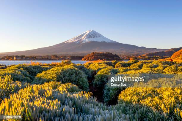 Mt.Fuji in Autumn at Oishi Park, Kawaguchiko Lake , Japan