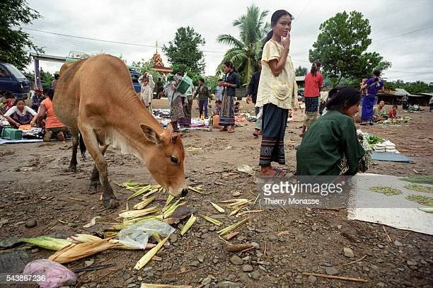 Muang Houn Lao People's Democratic Republic August 2003 A cattle is eating some vegetables in the market of Muang Houn
