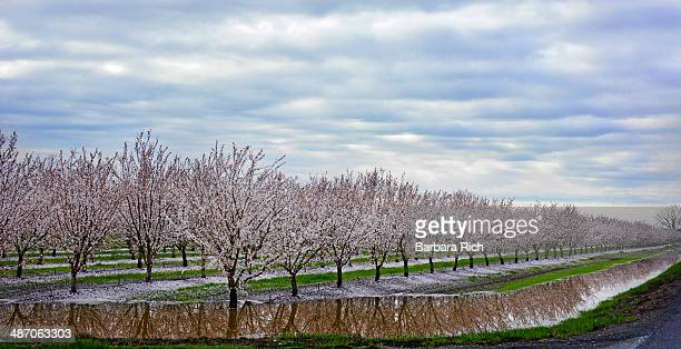 Much needed spring rains in almond orchard