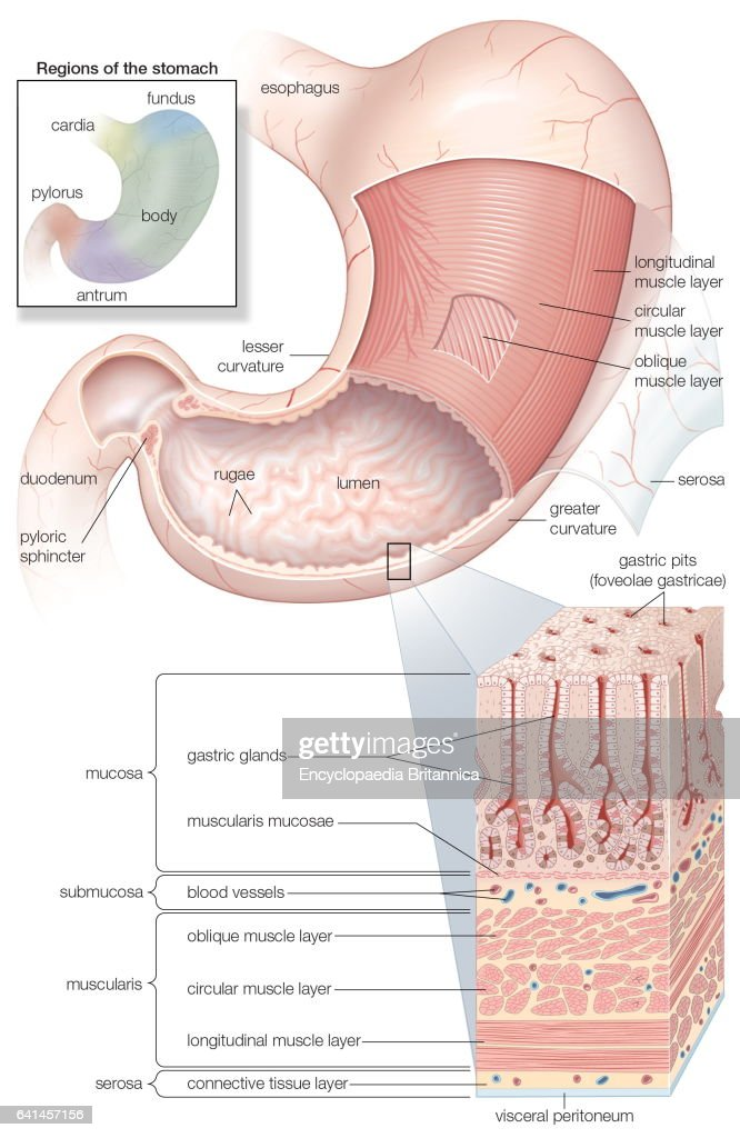 Mucosa And Musculature Of The Stomach Plus Inset Of Histology And