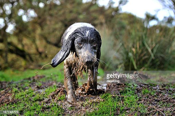 mud magnet - springer spaniel stock pictures, royalty-free photos & images