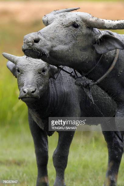 A mudcovered water buffalo and her calf graze on the edge of a rice field on the resort island of Langkawi northern Kedah state 08 August 2007 The...