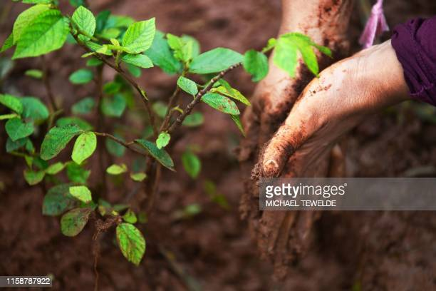 Muddied hands are pictured next to newly planted tree seedlings as ethiopians take part in a national treeplanting drive in the capital Addis Ababa...