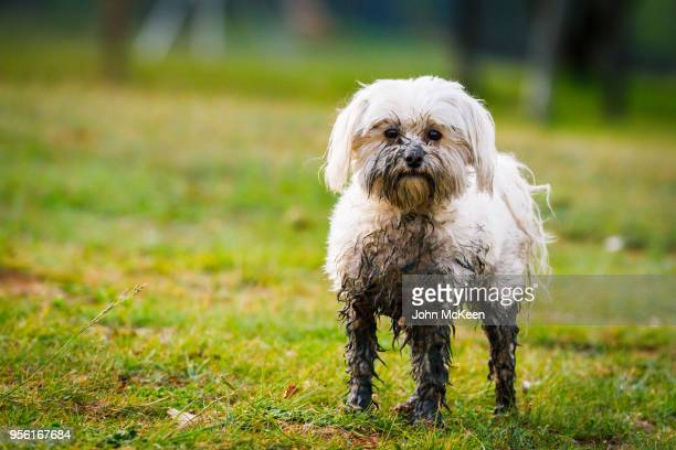 muddy maltese - mud stock pictures, royalty-free photos & images