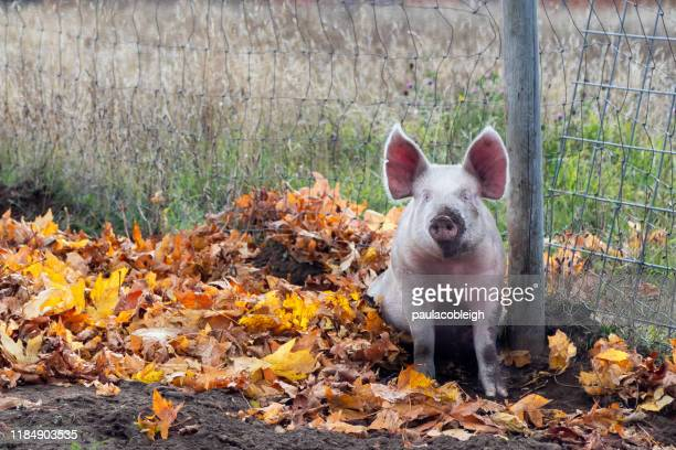 muddy pink pig with erect ears