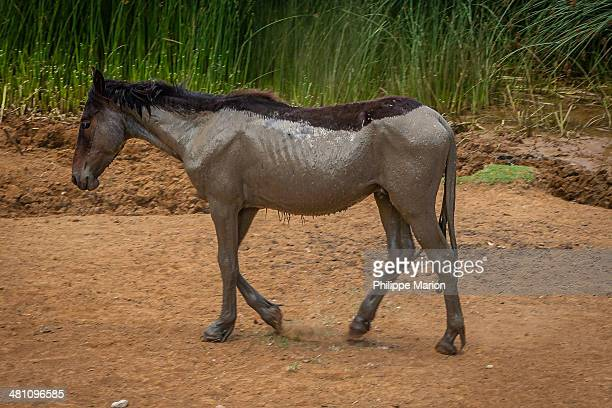 muddy wild horse of easter island - dirty easter stock pictures, royalty-free photos & images