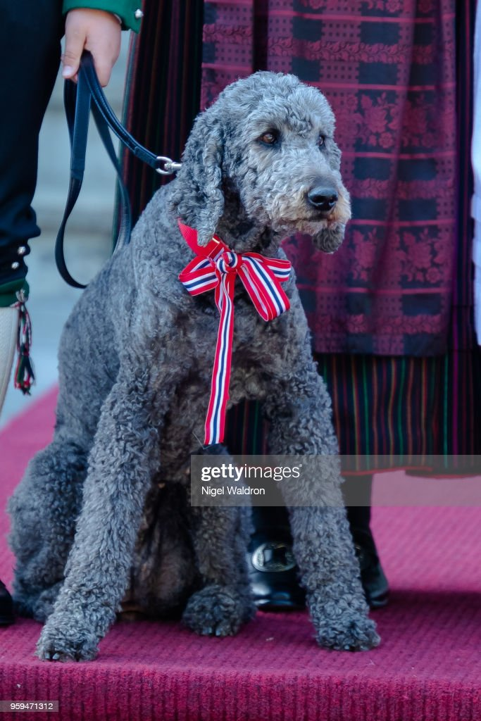 Muffins Krakebolle the royal pet dog at Skaugum Farm in Asker during Norway's National Day on May 17, 2018 in Oslo, Norway.