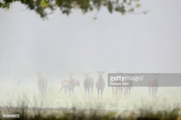 Mufflons (Ovis musimon), flock, females on a clearing in the fog, Wesel, Lower Rhine, North Rhine-Westphalia, Germany