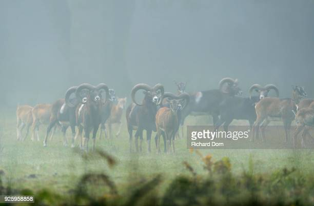 Mufflons (Ovis musimon), flock on a clearing in the fog, Wesel, Lower Rhine, North Rhine-Westphalia, Germany