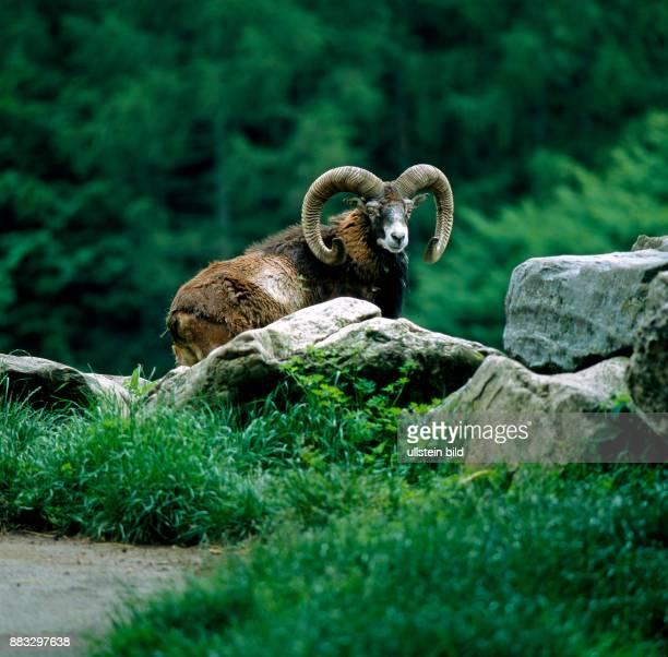 Mufflonwidder mit praechtigen Hoernern und weisser Fellschabracke verhofft auf einer Waldwiese