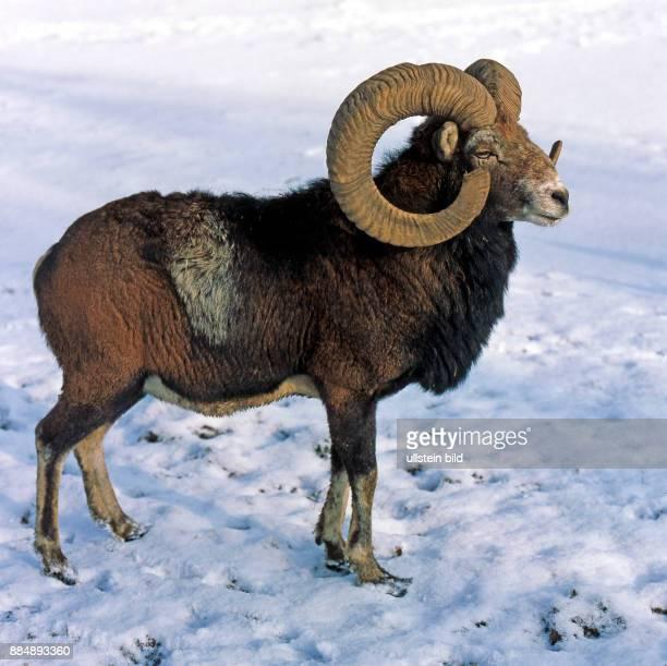 Mufflonwidder mit praechtigen schneckenfoermigen Hoernern im Winterfell auf verschneitem Feld