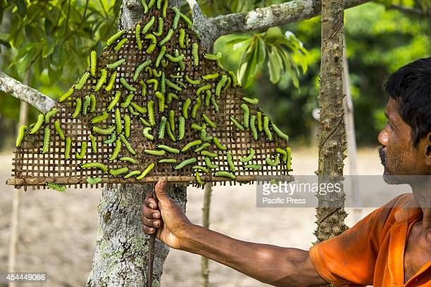 Muga Silkworms released on a Som tree in the Bakata village in Sivasagar district of Eastern Assam state Muga silk is the product of the silkworm...