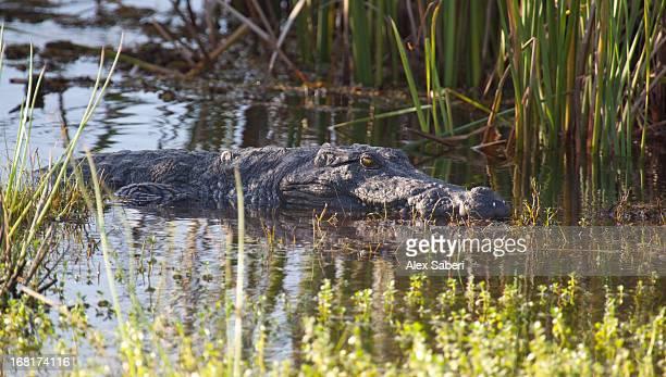 a mugger crocodile, crocodylus palustris, waits in the reeds. - alex saberi photos et images de collection