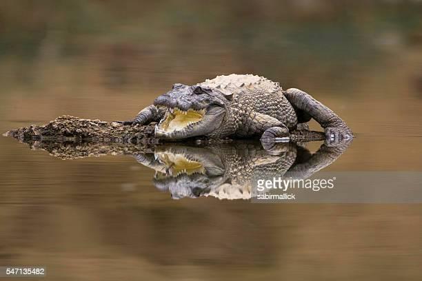 Straßenräuber Krokodilleder