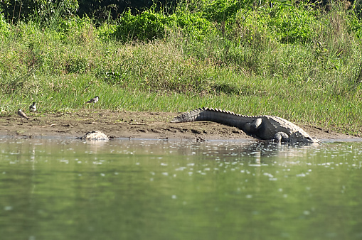 Mugger or Marsh crocodile is going under the water at Chitwan National park in Nepal 1148460415