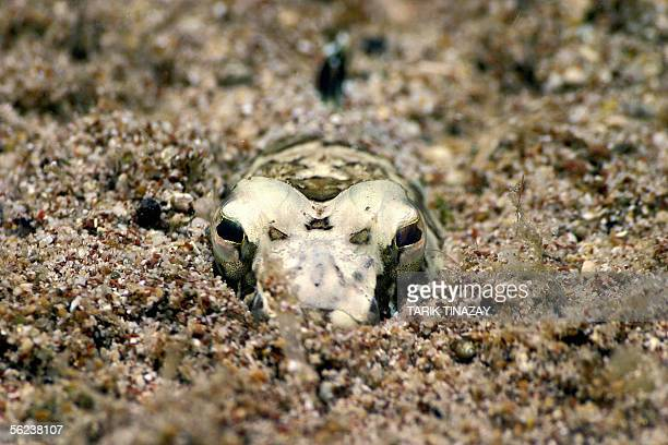 Lizardfish from the Synodontidae familia, waits under the bottom sands for hunt its next victim in the depth of Mediterranean, 19 November 2005 in...