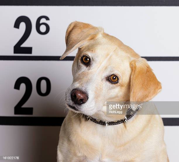 mugshot of a dog - dog pound stock pictures, royalty-free photos & images