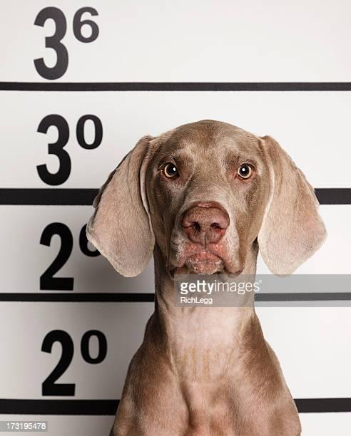 mugshot of a dog - confrontatie stockfoto's en -beelden